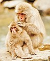 Japanese Snow Monkey (Macaque) Mother Grooms Her Young.jpg