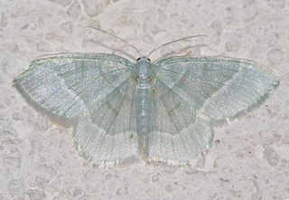 Geometrinae Subfamily of moths