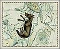 Johannes Hevelius - Lupus.jpg