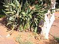 Johannesburg Botanical Garden Herb section03.JPG