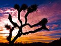 Joshua Tree at sunset, San Bernardino, California, U.S.A.jpg