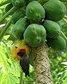 Jungle Myna eating a papaya (31848548092).jpg
