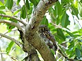 Jungle Owlet - Glaucidium radiatum DSC02791.jpg