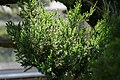 Juniperus chinensis Torulosa 0zz.jpg