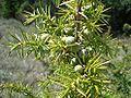 Juniperus communis5.jpg