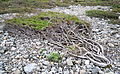 Juniperus communis .jpg