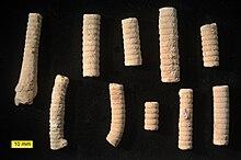 Crinoid Wikipedia