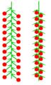 Kätzchen (inflorescence).PNG