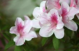 Rhododendron schlippenbachii - KOCIS Royal Azalea (8573227639)