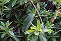 Kadsura japonica (22197879490).jpg