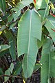 Kaempferia rotunda Raven 4zz.jpg
