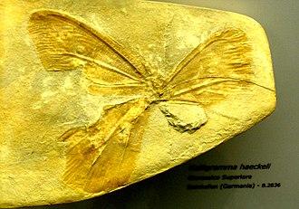 Neuroptera - Kalligramma haeckeli fossil (Kalligrammatidae)