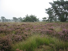 Image illustrative de l'article Parc national (transfrontalier) De Zoom-Kalmthoutse Heide