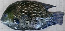 Karimeen (Green Chromide) caught from Ashtamudi Lake