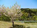 Kawauchi, Miyako, Iwate Prefecture 028-2513, Japan - panoramio (9).jpg