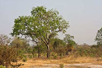 Wildlife of the Gambia - Young mahogany trees in Kiang West National Park in the Gambia.