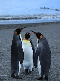 King Penguin threesome on the beach (5848771389).jpg