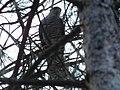 Kobac (Accipiter nisus) Eurasian Sparrowhawk.jpg