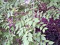 Kolkwitzia amabilis 001.jpg