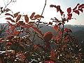 Korina 2017-01-28 Mahonia aquifolium 1.jpg