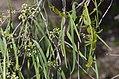 Korthalsella rubra Wilga 2.jpg