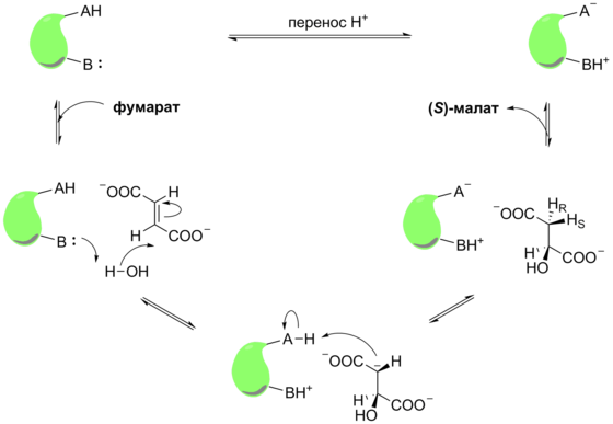 Krebs Cycle Reaction 9 Mechanism ru.png