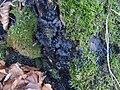 Kretzschmaria deusta P35 (1).jpg