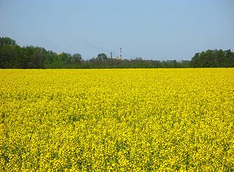 Kuyavia - Kujavian rapeseed field. The region is famous for its rapeseed oil, an essential component of local cuisine
