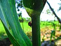 Kumbang Koksi Masa Kawin.jpg