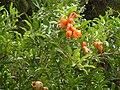 Kwiaty granatu.JPG