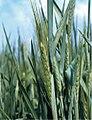 LPCC-628-Plantes de triticale.jpg
