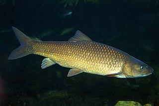 <i>Labeobarbus</i> genus of fishes