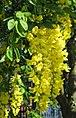 Laburnum anagyroides hanging flower cluster.jpg
