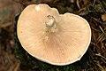 Lactarius.piperatus2.-.lindsey.jpg