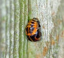 Kumbang Kura Kura Wikipedia Bahasa Melayu Ensiklopedia Bebas