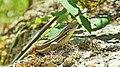 Lagartija serrana (Iberolacerta monticola) (3).jpg