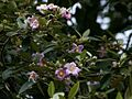 Lagunaria patersonia, Norfolk Island Hibiscus.jpg