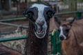 Lama glama from Barquisimeto Zoo 2.jpg