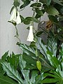 Lapageria rosea with berry in Temuco 03.JPG