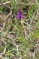 Lapland Marsh-Orchid - Dactylorhiza lapponica - panoramio (4).jpg