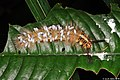 Lappet moth caterpillar parasited by braconid wasps (Apanteles sp.) (5050724084).jpg