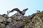 Last excursion of our trip, at Elephant point on Livingston Island.action around the rocky hill-top nest of a Giant Petrel family. (25990135266).jpg