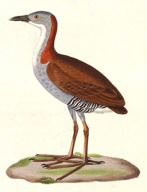 500px laterallus exilis 1838