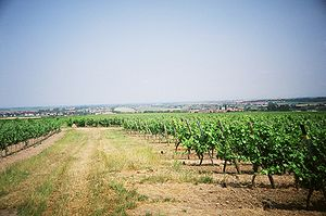 Laumersheim - Vineyards in Laumersheim