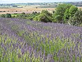 Lavender in the Howardian Hills - geograph.org.uk - 494982.jpg