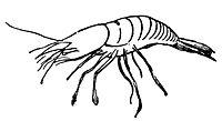 Lear 2 - Shrimp-small.jpg