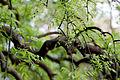 Leaves, Weeping Japanese pagoda tree - Flickr - nekonomania (1).jpg