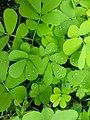 Leaves group near kali river bank dandeli,india.jpg