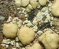 Lecanora polytropa - Flickr - pellaea (2).jpg