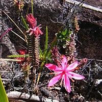 Ledothamnus sessiliflorus flower2.jpg